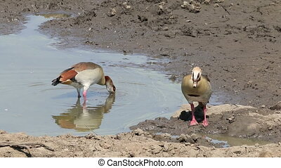 Foraging egyptian geese - A pair of Egyptian geese Alopochen...
