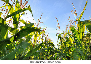 corn field - green corn leaves and inflorescence