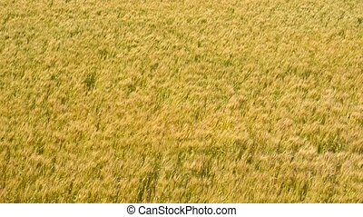 Swaying wheat field - Turned yellow wheat field swaying in...