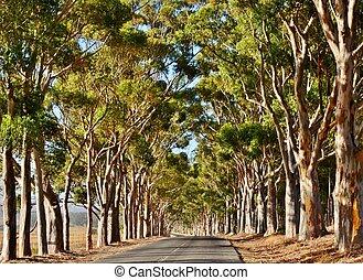 Eucalyptus Avenue - Landscape with long Eucalyptus tree...