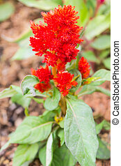 Red Pink Plumed Celusia flower