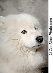 Face of sad samoyed dog - Samoyed dog with sad face