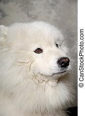 Face of sad samoyed dog - Samoyed dog with sad face