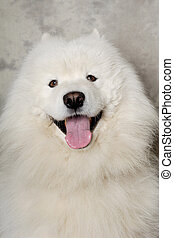 Face of happy samoyed dog - Samoyed dog with happy face