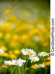 Beautiful White Daisies in a Field - Beautiful White Daisies...