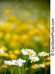 hermoso, blanco, margaritas, campo