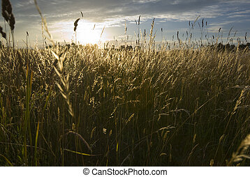 Meadow land - Sun setting over the wild grasses, aRGB