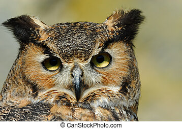 Eagle Owl - close-up of a beautiful Eagle Owl (bubo bubo)