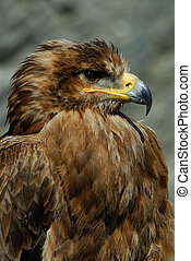 steppe eagle - close-up of a steppe eagle (Aquila...