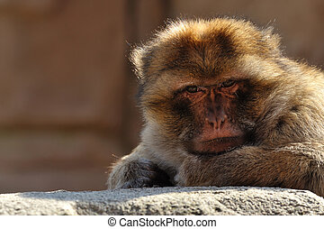 barbary ape - portrait of a barbary ape