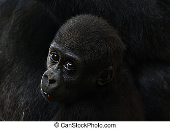 baby gorilla - close-up of a a cute baby gorilla