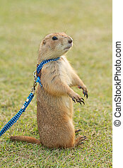 prairie dogs  standing upright on field