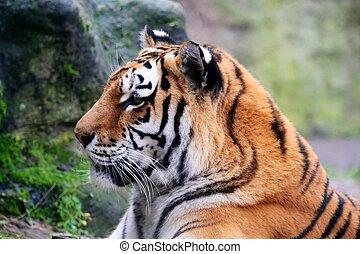 amur tiger - photo of the amur tiger ( panthera tigris...