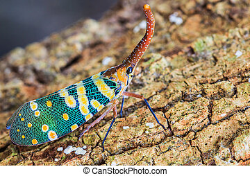 lanternfly, the insect on tree fruits. (FULGORID...