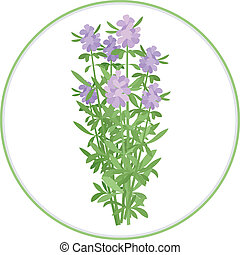 Hyssop Bunch - A couple of twigs of hyssop. Spice herbs...