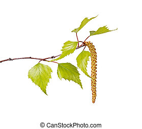 Birch leaves and flower catkin isolated on white - Several...