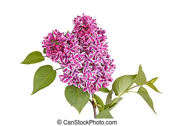 Spray of purple and white lilac flowers isolated against...