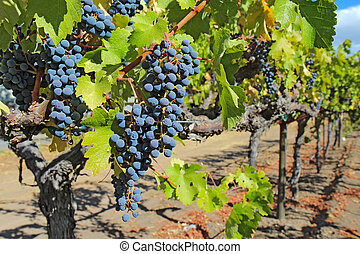 Grapes on the vine in the Napa Valley of California - A...