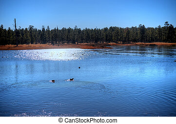 Winter Lake - Winter lake with feeding ducks in the...