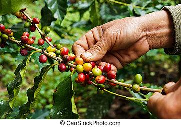 colheita, café