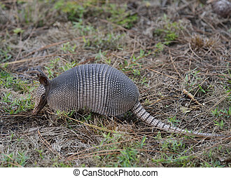 Armadillo Feeding In A Florida Park