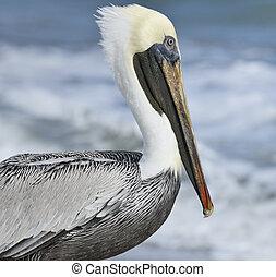 Brown Pelican Near Atlantic Ocean