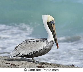 Brown Pelican On The Sand Near Atlantic Ocean