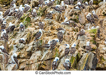 Aquatic seabirds in Peru,South America, coast at Paracas National Reservation, Peruvian Galapagos. Ballestas Islands.This birds hunters of fish and shellfish .