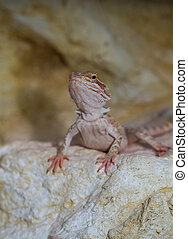 Bearded dragons Red Leatherback (Pogona vitticeps)