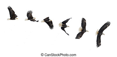 Flying bald eagle - Various phases of a flying bald eagle (...