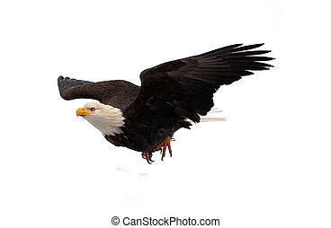 Diving bald eagle - Diving Bald Eagle Haliaeetus...