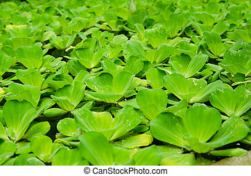 Pistia Water cabbage - Water lettuce plant float above water...