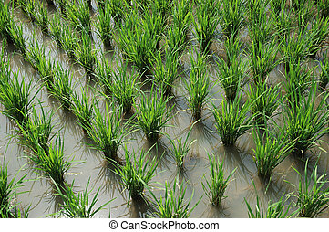 Ricefield - Field of rice paddies in tropical paradise