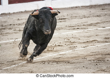 Capture of the figure of a brave bull in a bullfight, Spain...
