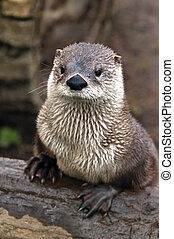 Otter - A shot of an otter on a bank