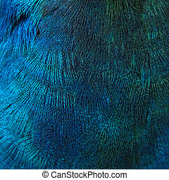 Feathers of a bird peacock - A closeup of the blue feathers...