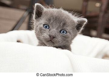 gray young cat looks - gray cat cub looking at the camera,...