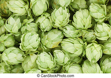 Background of green hop cones. Whole background.