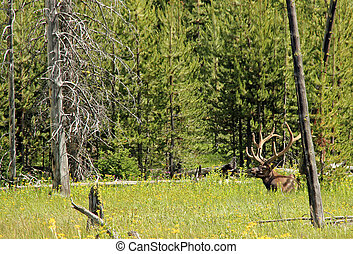 Wapiti aka Elk, Cervus Canadensis, Yellowstone National...