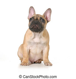 bad dog - french bulldog puppy with ashamed expression...