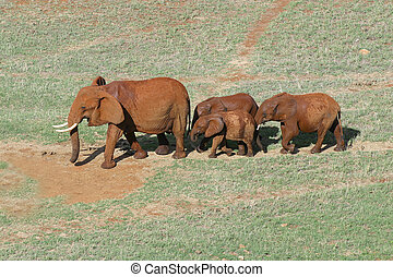 Four elephants. Kenya, Tsavo East National Park.