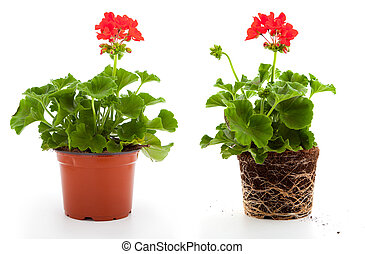 geranium are often used flowers for the balcony, isolated on...