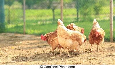 Free Range Hens in a farmyard Gallus gallus domesticus