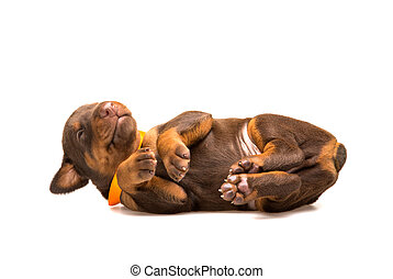 Funny puppy sleeping upside down isolated on white...
