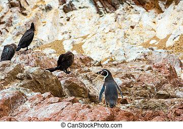 South American penguins coast at Paracas National...