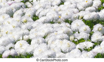 Avenue of white chrysanthemums