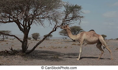 Wild camel Camelus dromedarius eating leaves of a tree