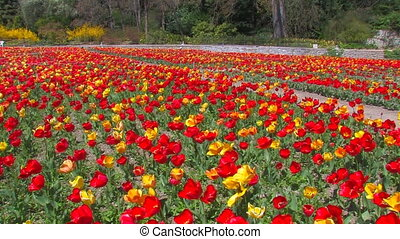 Avenue of red and yellow tulips.