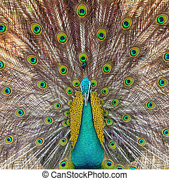 Green Peafowl - Beautiful Green Peafowl male with colorful...
