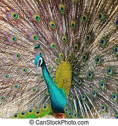 Green Peafowl - Beautiful Green Peafowl (male) with colorful...